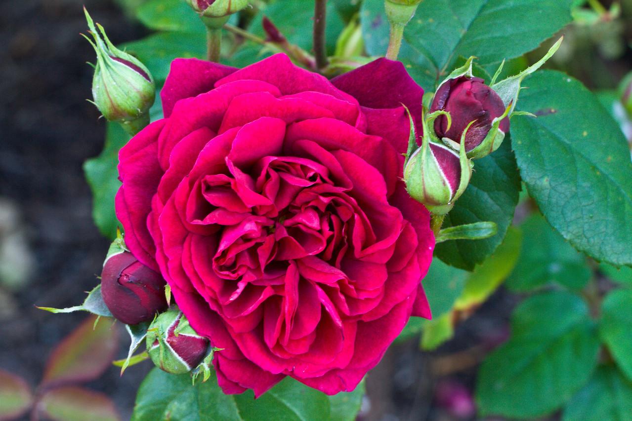 Ruffled Rose