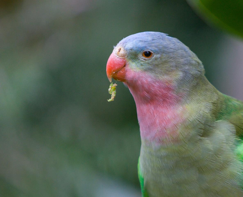 Alexandra's Parrot