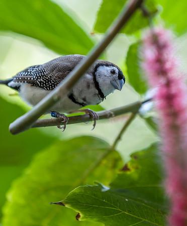 Owl Finch