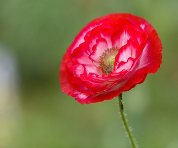 Ruffled Poppy