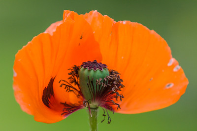 Poppy Unveiled