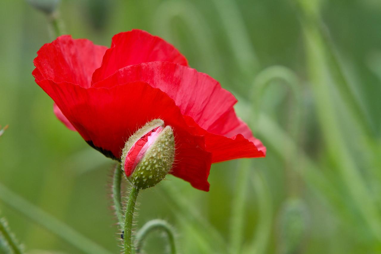Poppy Unveiling
