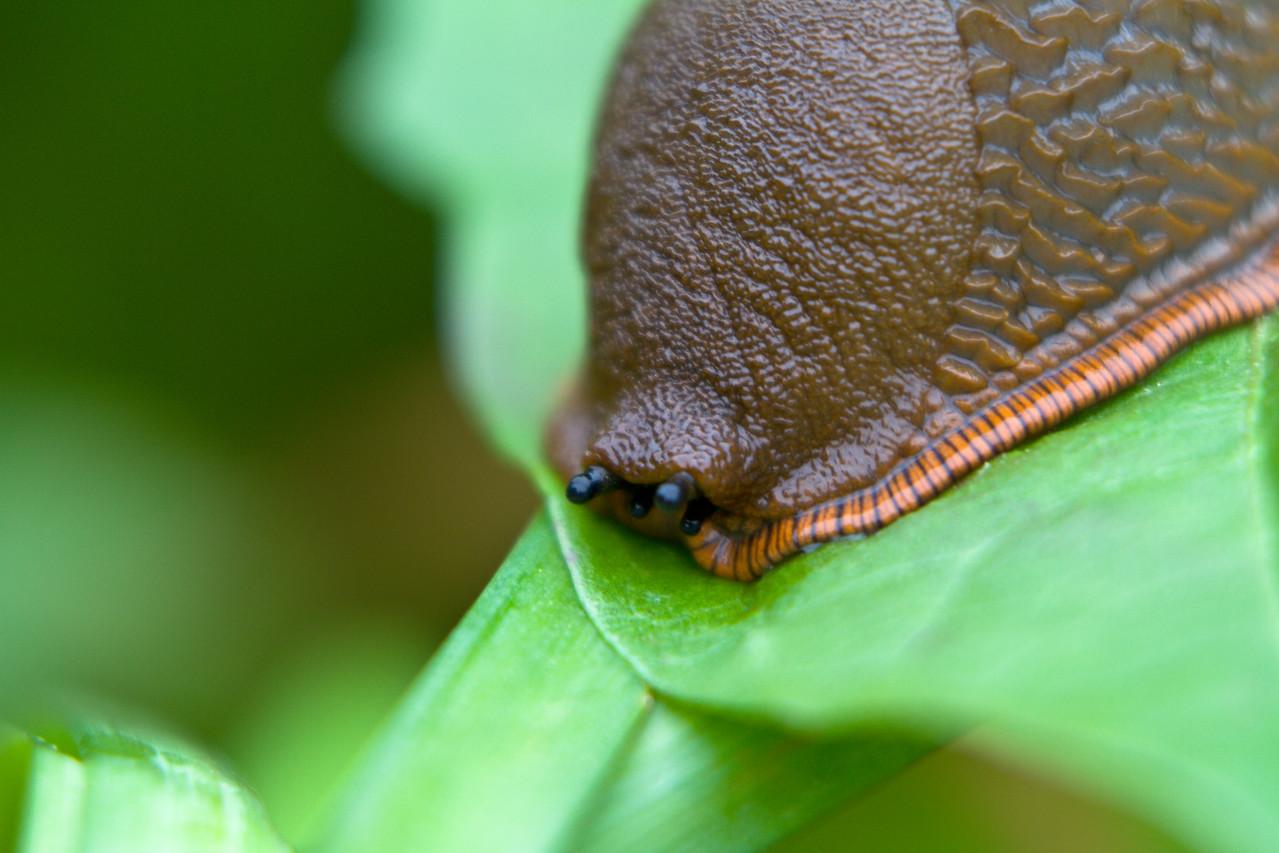 Tiger-banded Slug