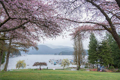 Deep Cove Cherry blossoms