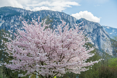 Cherry Blossom tree in front of the Stawamus Chief, Squamish, BC