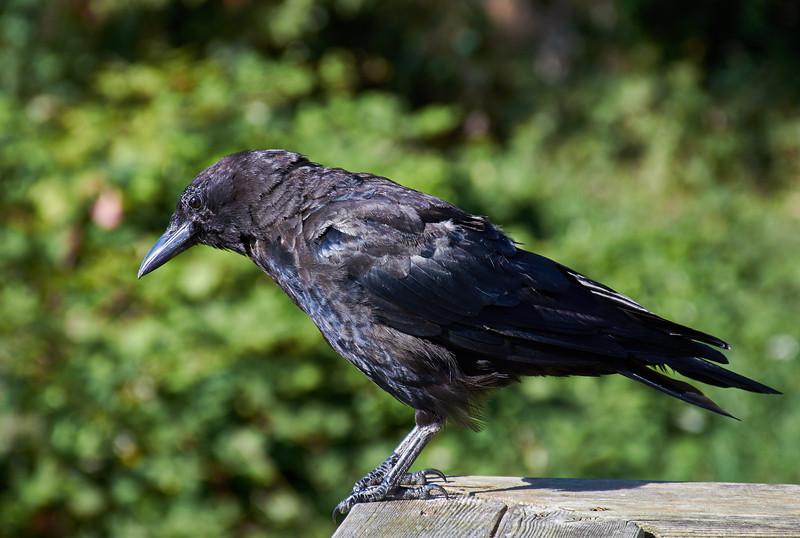 A confident corvid ...