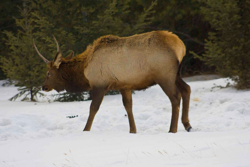 Elk on Tunnel Mountain, Banff