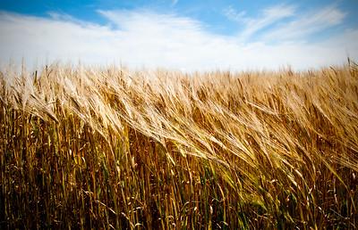 Wheat- Saskatchewan, Canada