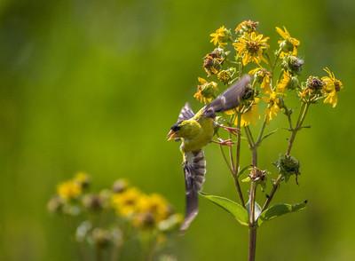 American Goldfinch, Morton Arboretum, 2009