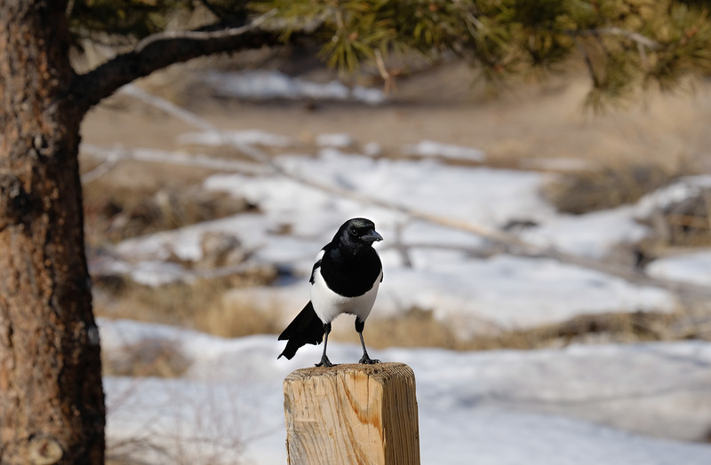 Black-billed Magpie at Great Sand Dunes National Park and Preserve, southern Colorado.