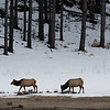 Elk along Devil Creek east of Durango, Colorado.