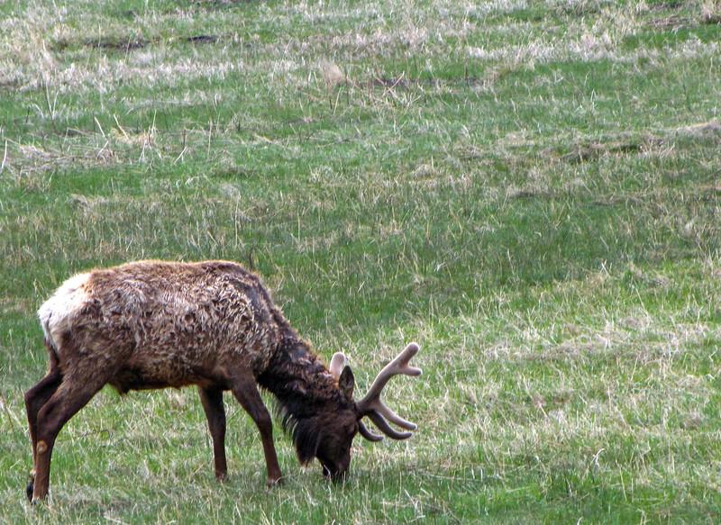 Elk in Rocky Mountain National Park, near the Estes Park gate.