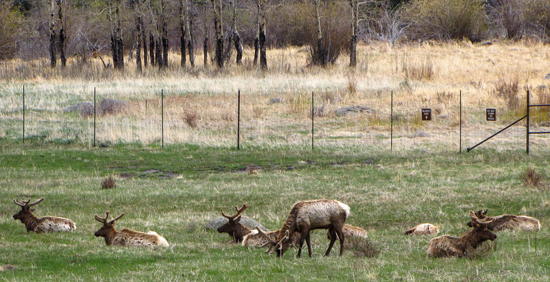 Elk in Rocky Mountain National Park, near the Estes Park gate.