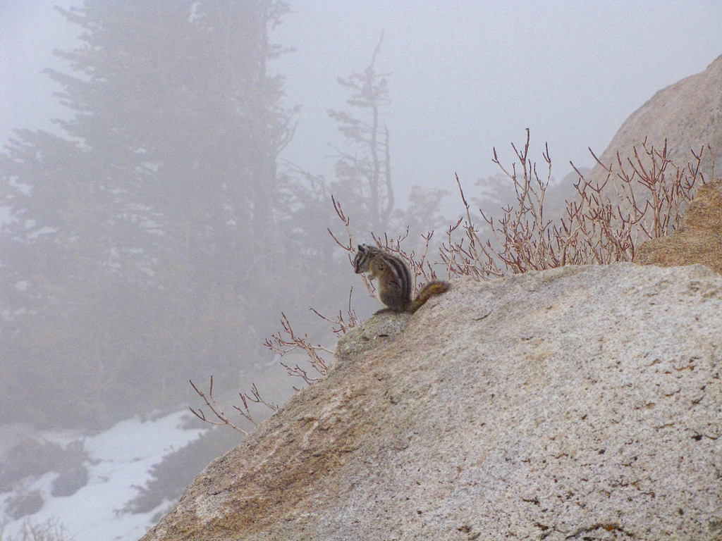 Chipmunk in the fog, at Rainbow Curve on Trail Ridge Road. The road beyond this point still had not been opened for the summer.