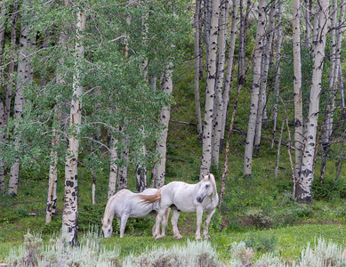 Aspens and Horses II