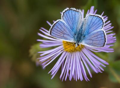 Blue Butterfly, Mt. Zirkel Wilderness Area, CO, 2007