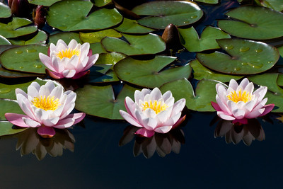 Lilies Reflected
