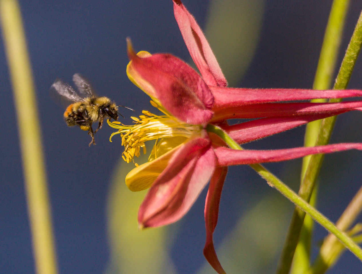 Bee and Columbine