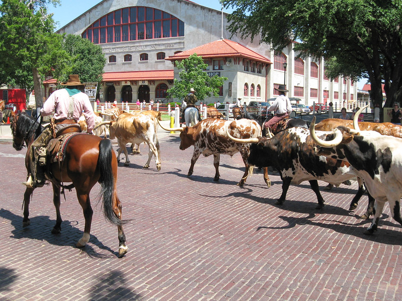 Stockyards cattle drive.