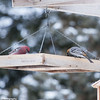 Male & female Pine Grosbeak