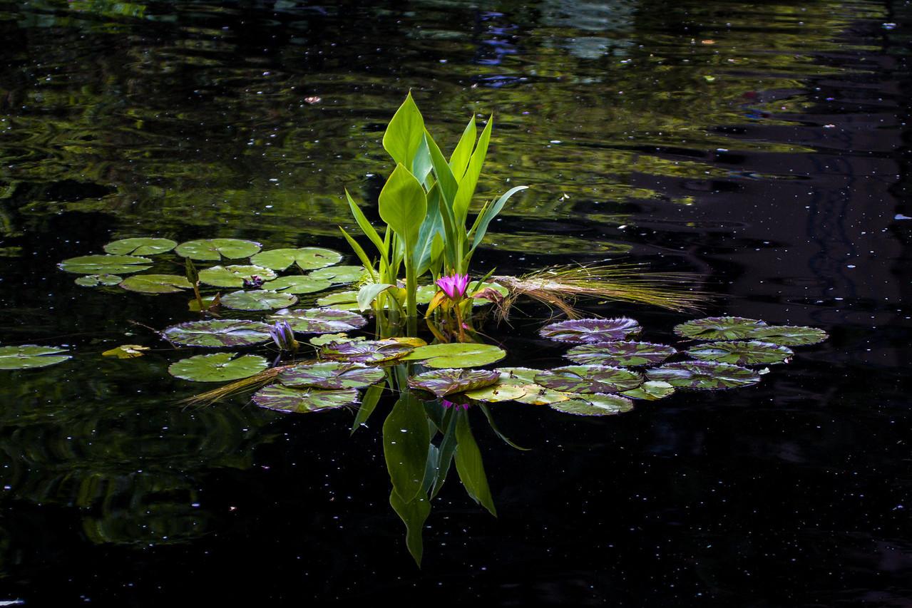 Lily Pond, Winterthur, DE, 2007