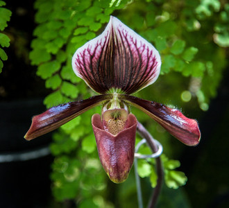 Orchid V,  Longwood Gardens, PA, 2007