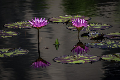 Lily Reflection,  Longwood Gardens, PA, 2007