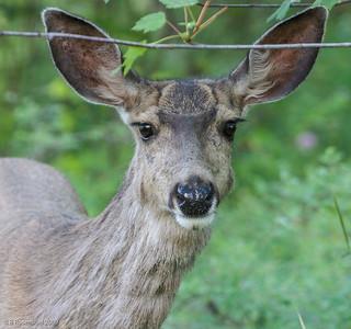 Mule Deer III, Whitefish, Montana, 2006
