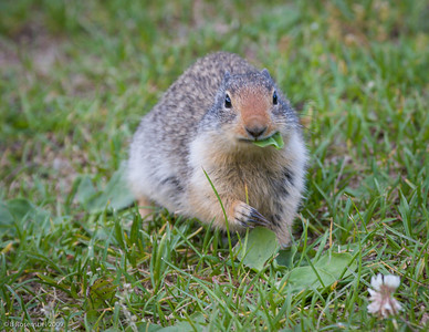 Columbia Ground Squirrel, Glacier NP, Montana, 2006