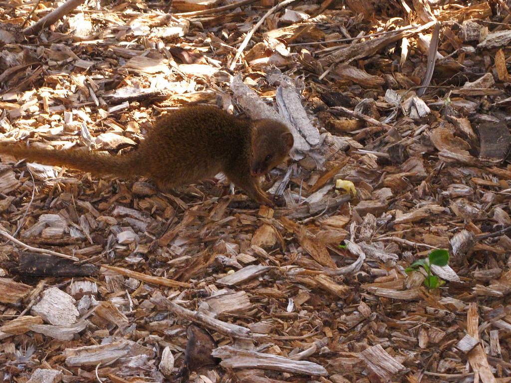 A mongoose at Hanauma Bay.