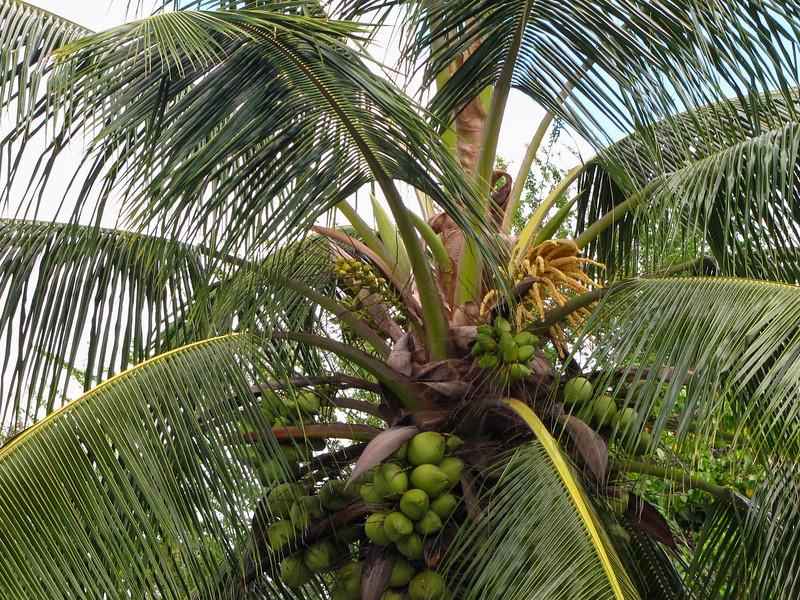Coconut palms in Haleiwa.