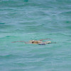 A sea turtle in the water at Mahaiula Bay in Kekaha Kai State Park on the Big Island.