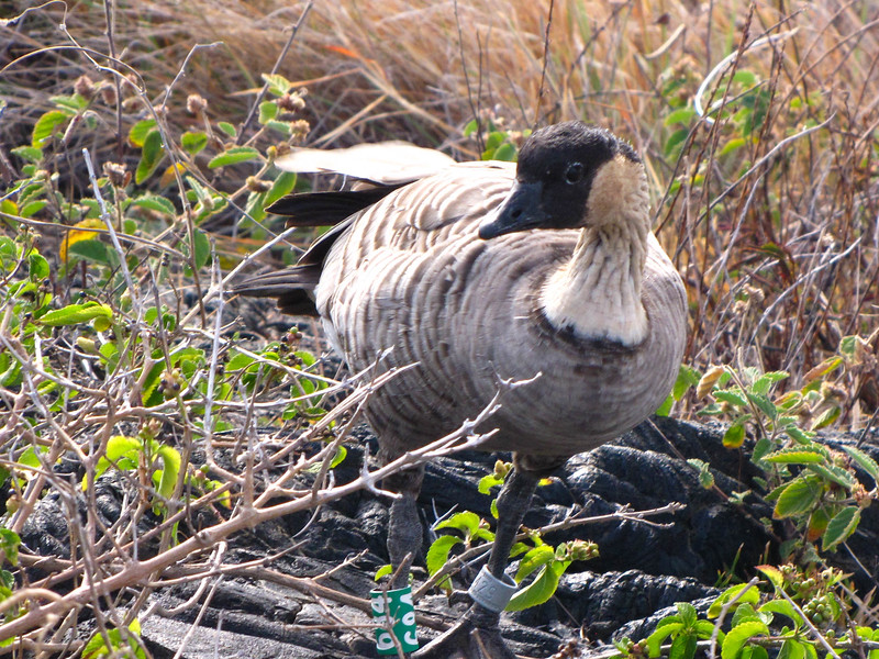 Hawaii's state bird, the Nene (Hawaiian goose), Hawaii Volcanoes National Park.
