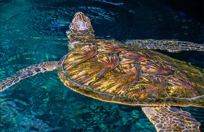 Sea Turtle, Maui, 2004
