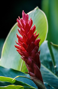 Bromeliad, Hawaii, 2004