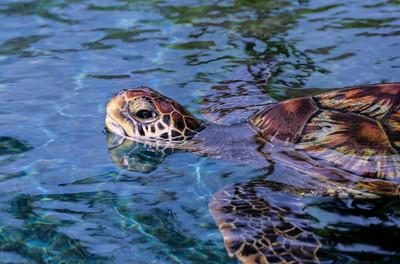 Sea Turtle II, Maui, 2004