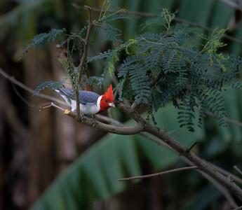 Red-crested Cardinal, Kauai, 2004