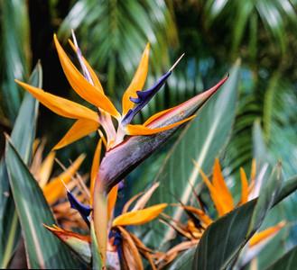 Bird of Paradise, Maui, 2004