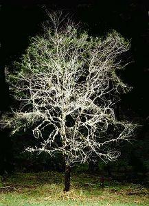 Fungus covered oak, Camp Myrtlewood, SW Oregon