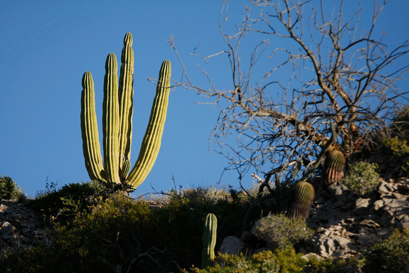 Cardon and barrel cactus, Santa Catalina Island, Baja California