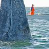 Spy hopping gray whale, San Ignacio Lagoon, Baja