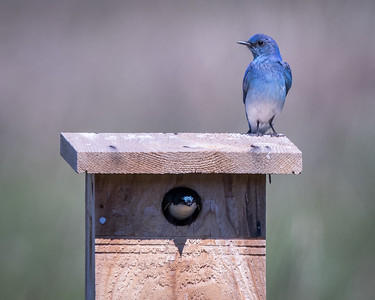 Mountain Bluebird and Tree Swallow