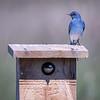 Mountain Bluebird and Tree Swallow