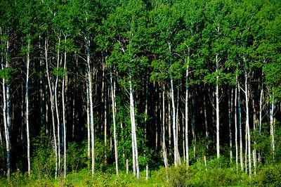 Poplars- Leech Lake, MN