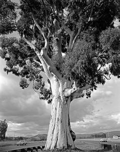 Eucalyptus- Yountville, CA