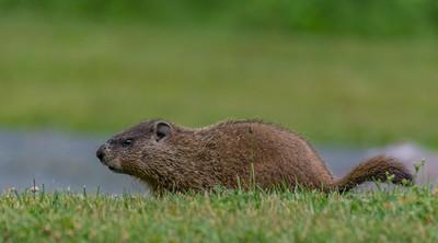 Woodchuck Prowling