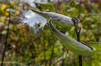 Milkweed Magic