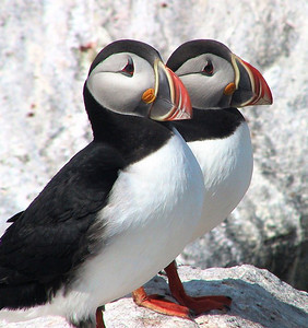 Puffins courtesy of Bob Speare