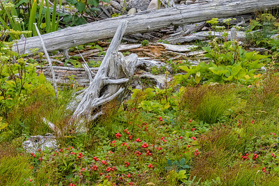 Driftwood and Bunch Berries - Coastal Trail