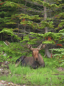 Moose courtesy of Bob Speare